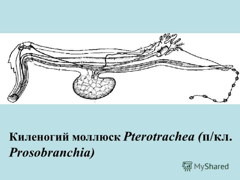 Киленогий моллюск Pterotrachea (п/кл. Prosobranchia)