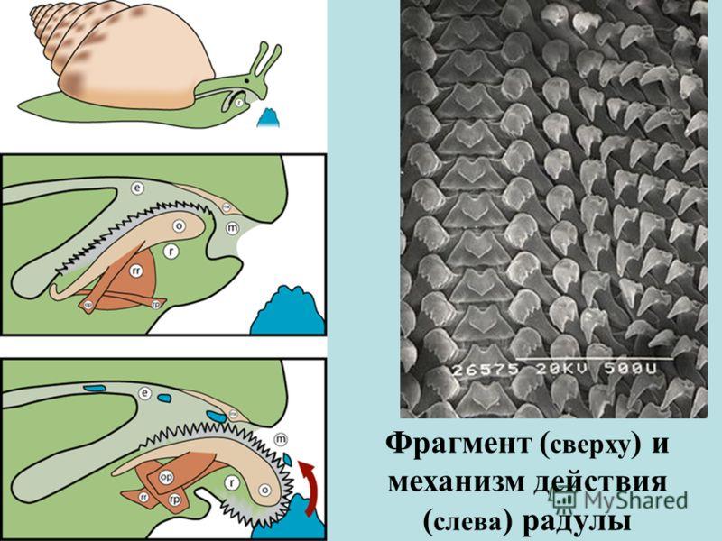 Фрагмент ( сверху ) и механизм действия ( слева ) радулы