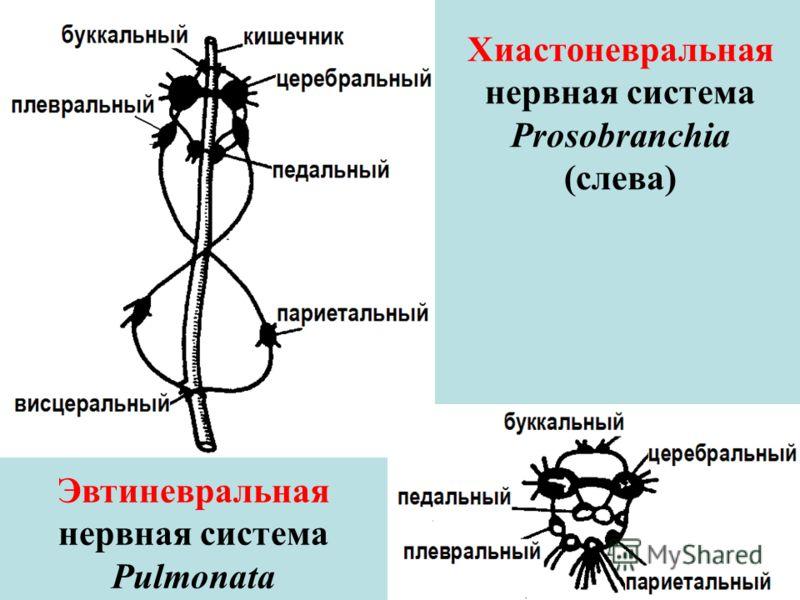 Хиастоневральная нервная система Prosobranchia (слева) Эвтиневральная нервная система Pulmonata