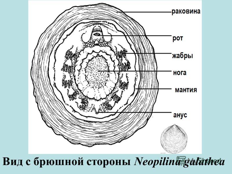 Вид с брюшной стороны Neopilina galathea
