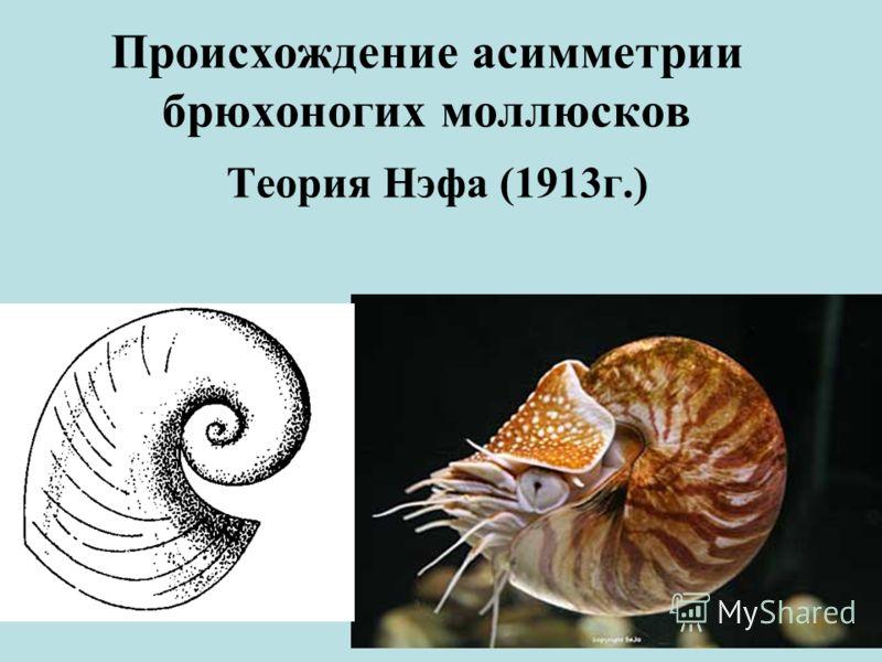 Происхождение асимметрии брюхоногих моллюсков Теория Нэфа (1913г.)