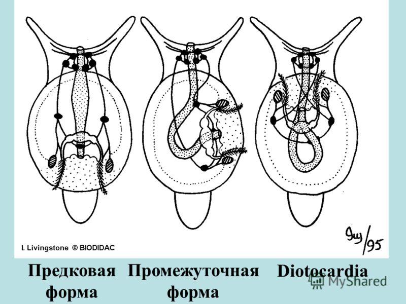 Предковая форма Промежуточная форма Diotocardia
