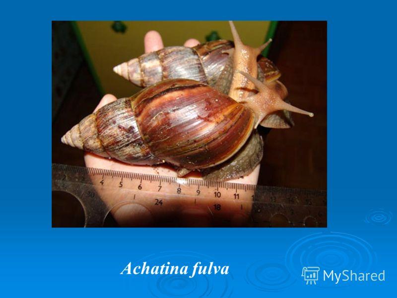 Achatina fulva