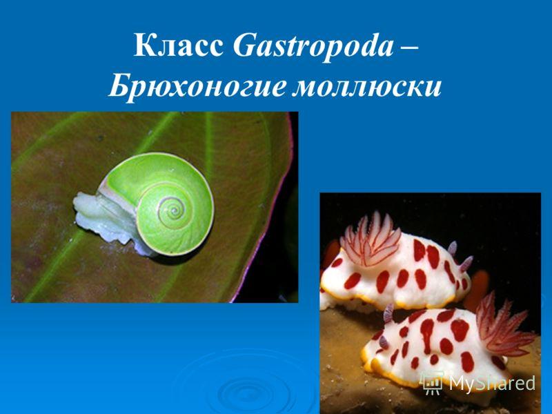 Класс Gastropoda – Брюхоногие моллюски