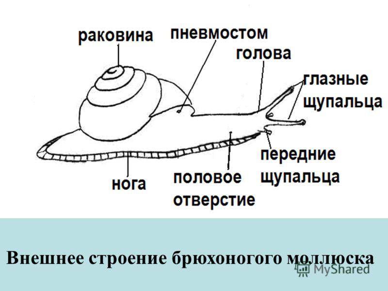 Внешнее строение брюхоногого моллюска