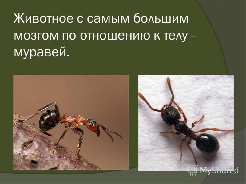 Животное с самым большим мозгом по отношению к телу - муравей.