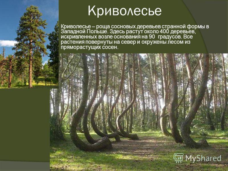 Криволесье Криволесье – роща сосновых деревьев странной формы в Западной Польше. Здесь растут около 400 деревьев, искривленных возле основания на 90 градусов. Все растения повернуты на север и окружены лесом из пряморастущих сосен.