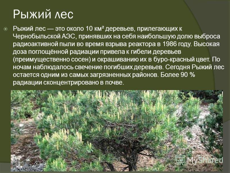 Рыжий лес Рыжий лес это около 10 км² деревьев, прилегающих к Чернобыльской АЭС, принявших на себя наибольшую долю выброса радиоактивной пыли во время взрыва реактора в 1986 году. Высокая доза поглощённой радиации привела к гибели деревьев (преимущест