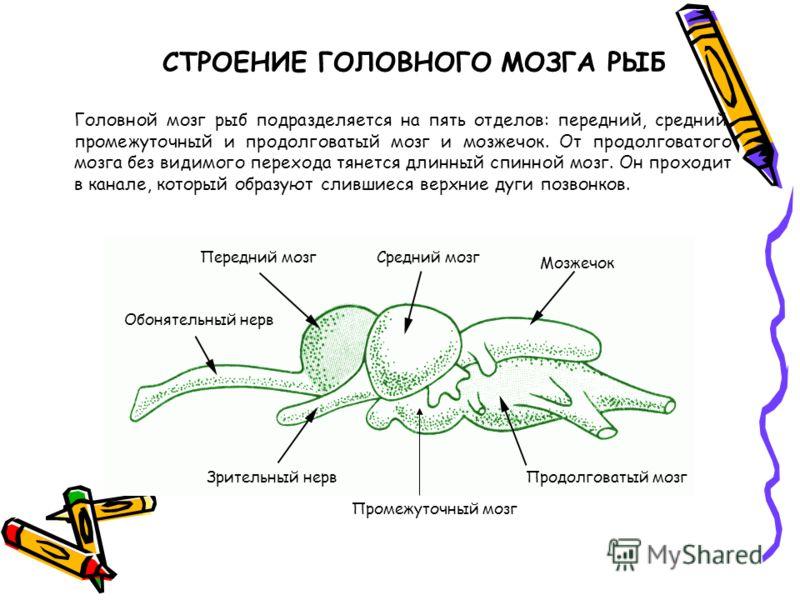 Головной мозг рыб подразделяется на пять отделов: передний, средний, промежуточный и продолговатый мозг и мозжечок. От продолговатого мозга без видимого перехода тянется длинный спинной мозг. Он проходит в канале, который образуют слившиеся верхние д