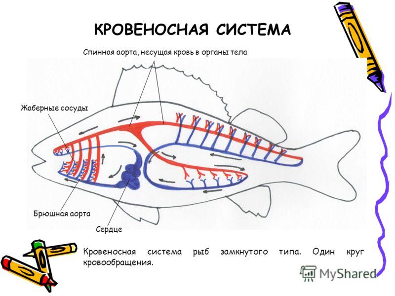 КРОВЕНОСНАЯ СИСТЕМА Кровеносная система рыб замкнутого типа. Один круг кровообращения. Сердце Жаберные сосуды Спинная аорта, несущая кровь в органы тела Брюшная аорта