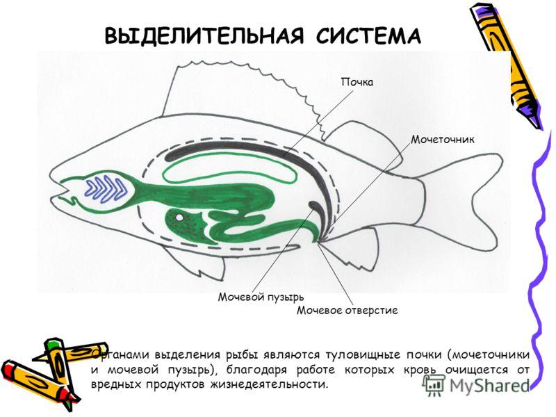 ВЫДЕЛИТЕЛЬНАЯ СИСТЕМА Органами выделения рыбы являются туловищные почки (мочеточники и мочевой пузырь), благодаря работе которых кровь очищается от вредных продуктов жизнедеятельности. Почка Мочевой пузырь Мочевое отверстие Мочеточник