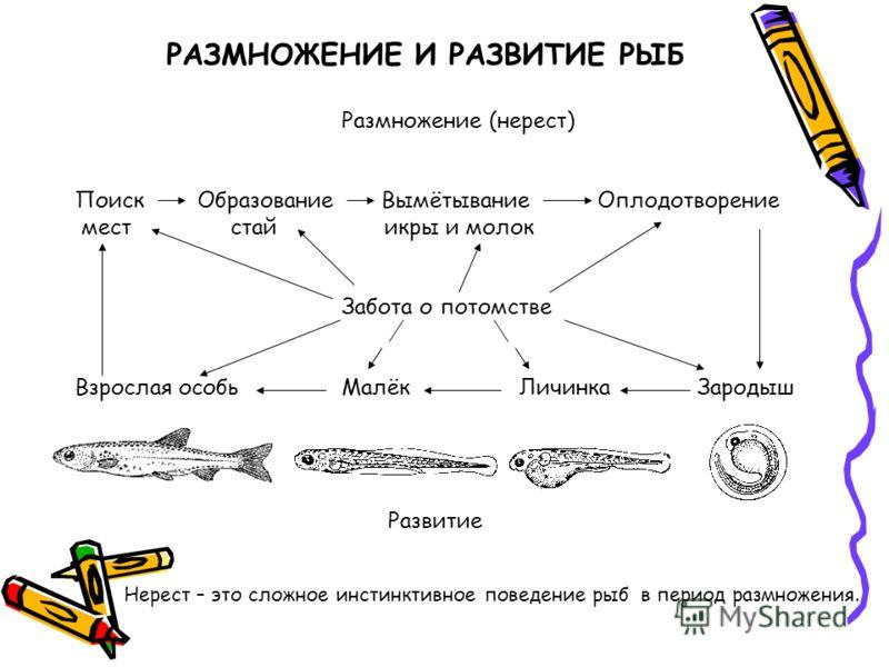 РАЗМНОЖЕНИЕ И РАЗВИТИЕ РЫБ Размножение (нерест) Поиск Образование Вымётывание Оплодотворение мест стай икры и молок Забота о потомстве Взрослая особьМалёкЛичинкаЗародыш Развитие Нерест – это сложное инстинктивное поведение рыб в период размножения.