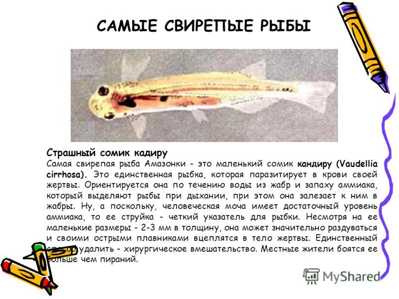 САМЫЕ СВИРЕПЫЕ РЫБЫ Страшный сомик кадиру Самая свирепая рыба Амазонки - это маленький сомик кандиру (Vaudellia cirrhosa). Это единственная рыбка, которая паразитирует в крови своей жертвы. Ориентируется она по течению воды из жабр и запаху аммиака,
