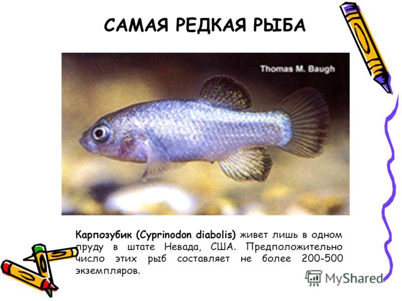 Карпозубик (Cyprinodon diabolis) живет лишь в одном пруду в штате Невада, США. Предположительно число этих рыб составляет не более 200-500 экземпляров. САМАЯ РЕДКАЯ РЫБА