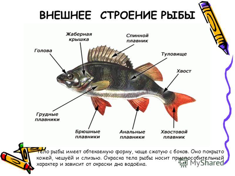 ВНЕШНЕЕ СТРОЕНИЕ РЫБЫ Тело рыбы имеет обтекаемую форму, чаще сжатую с боков. Оно покрыто кожей, чешуёй и слизью. Окраска тела рыбы носит приспособительный характер и зависит от окраски дна водоёма.