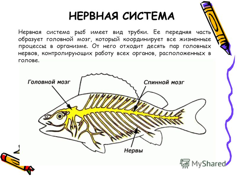 НЕРВНАЯ СИСТЕМА Нервная система рыб имеет вид трубки. Ее передняя часть образует головной мозг, который координирует все жизненные процессы в организме. От него отходит десять пар головных нервов, контролирующих работу всех органов, расположенных в г