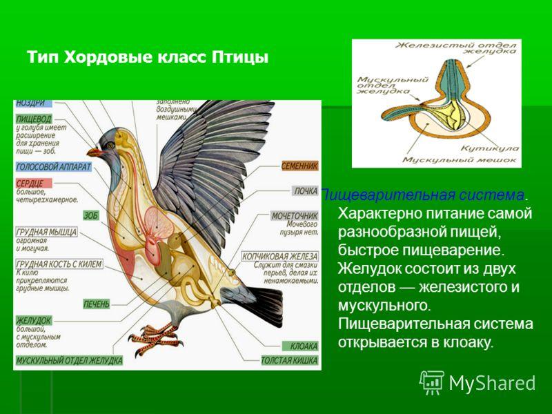 Пищеварительная система. Характерно питание самой разнообразной пищей, быстрое пищеварение. Желудок состоит из двух отделов железистого и мускульного. Пищеварительная система открывается в клоаку. Тип Хордовые класс Птицы