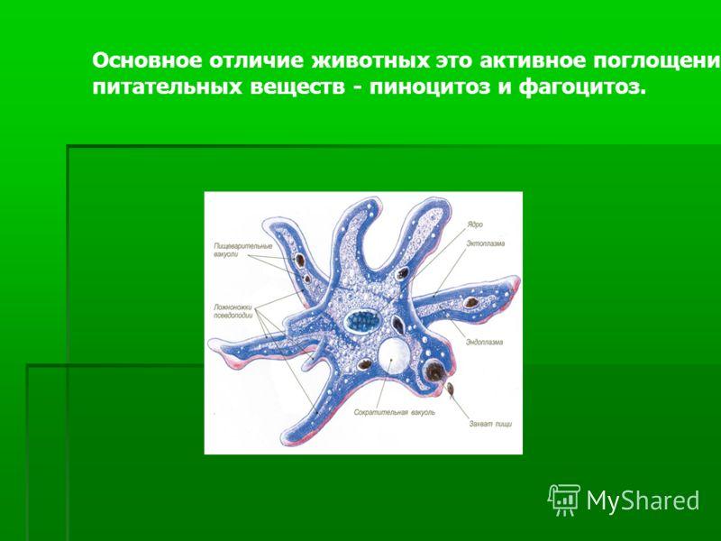 Основное отличие животных это активное поглощение питательных веществ - пиноцитоз и фагоцитоз.