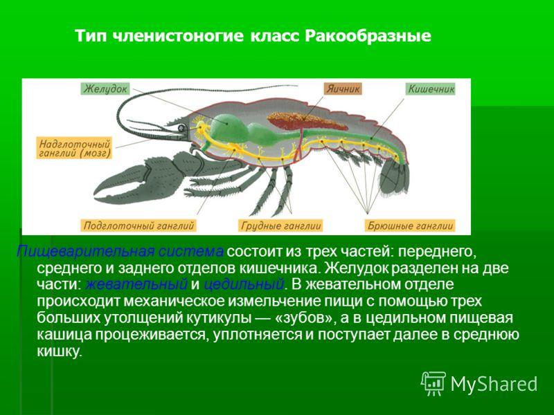 Пищеварительная система состоит из трех частей: переднего, среднего и заднего отделов кишечника. Желудок разделен на две части: жевательный и цедильный. В жевательном отделе происходит механическое измельчение пищи с помощью трех больших утолщений ку