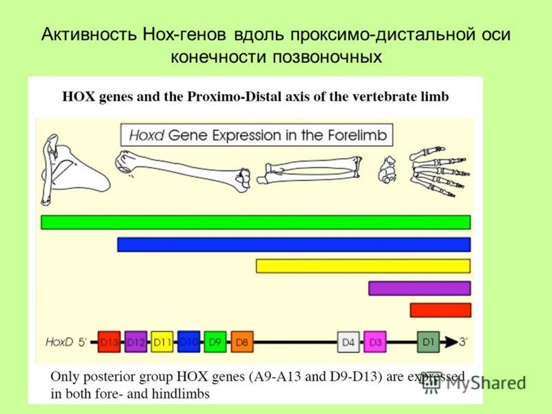 Активность Hox-генов вдоль проксимо-дистальной оси конечности позвоночных
