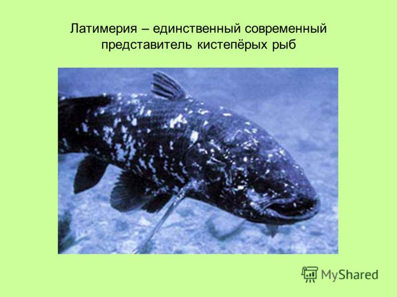 Латимерия – единственный современный представитель кистепёрых рыб