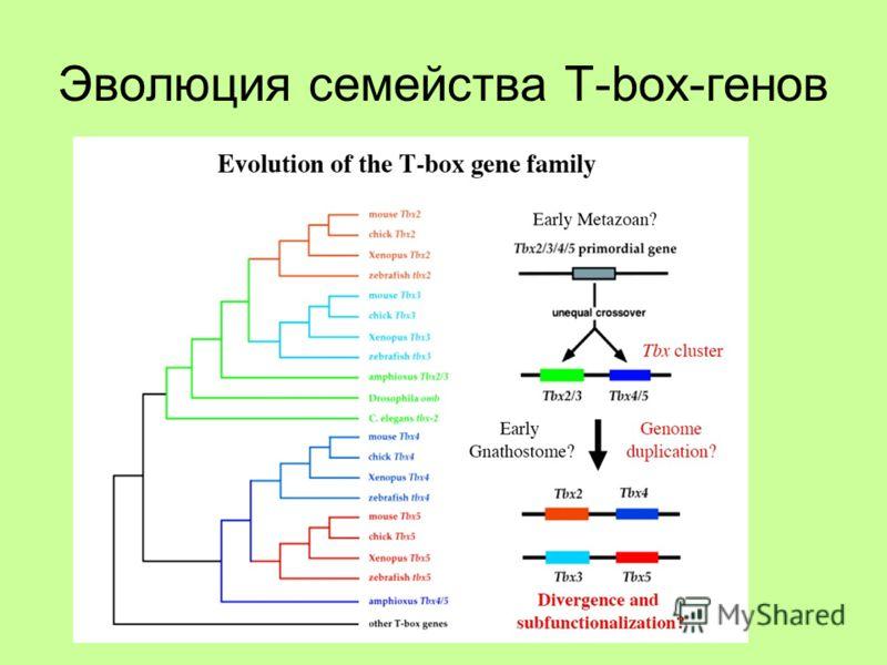 Эволюция семейства T-box-генов