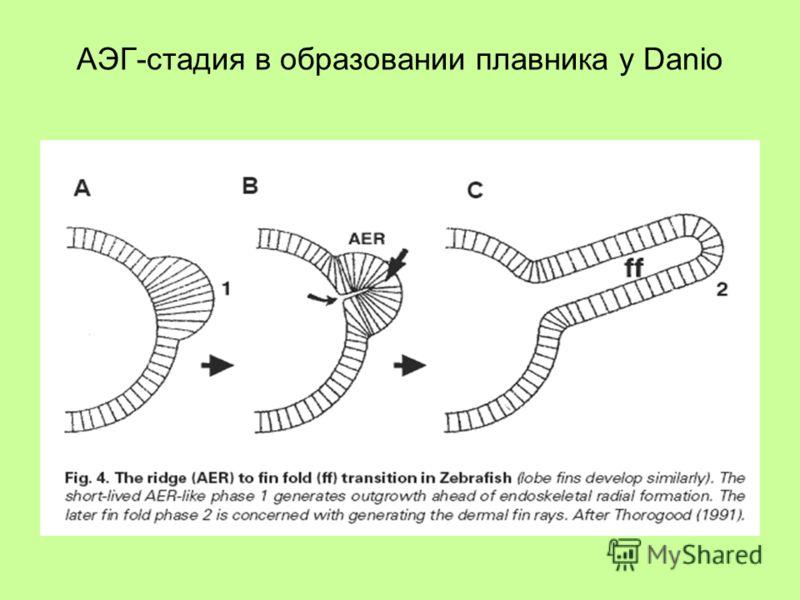 АЭГ-стадия в образовании плавника у Danio