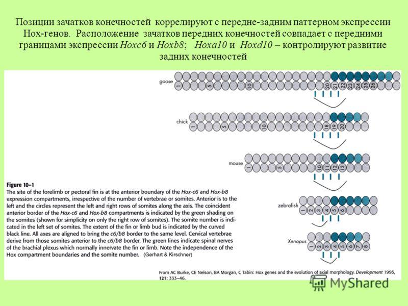 Позиции зачатков конечностей коррелируют с передне-задним паттерном экспрессии Hox-генов. Расположение зачатков передних конечностей совпадает с передними границами экспрессии Hoxc6 и Hoxb8; Hoxa10 и Hoxd10 – контролируют развитие задних конечностей