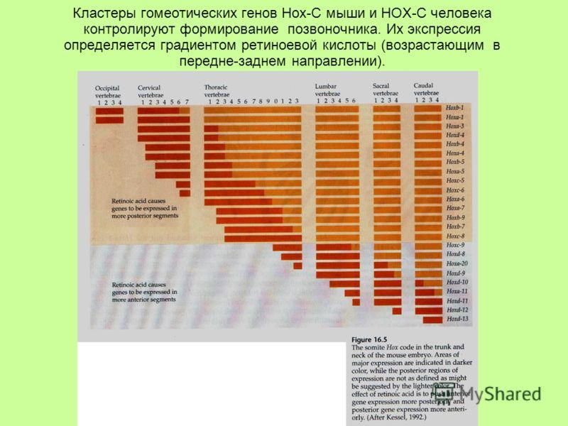 Кластеры гомеотических генов Hox-C мыши и HOX-C человека контролируют формирование позвоночника. Их экспрессия определяется градиентом ретиноевой кислоты (возрастающим в передне-заднем направлении).