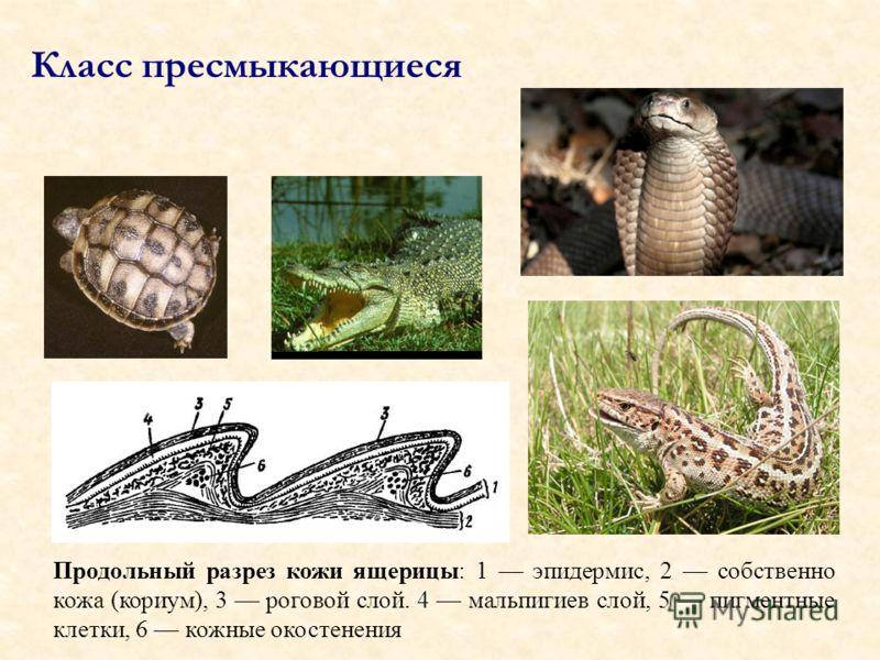Продольный разрез кожи ящерицы: 1 эпидермис, 2 собственно кожа (кориум), 3 роговой слой. 4 мальпигиев слой, 5 пигментные клетки, 6 кожные окостенения Класс пресмыкающиеся