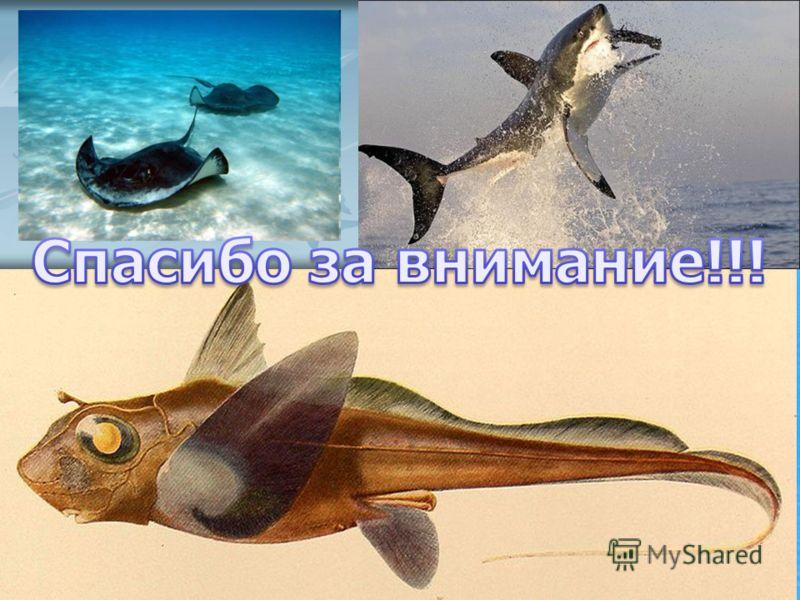 Химеры. Химеры. Цельноголо́вые или слитночерепны́е (лат. Holocephali) подкласс хрящевых рыб. Содержит один современный отряд химерообразные (Chimaeriformes).К ним относится глубоководная группа малоподвижных рыб. Цельноголо́вые или слитночерепны́е (л