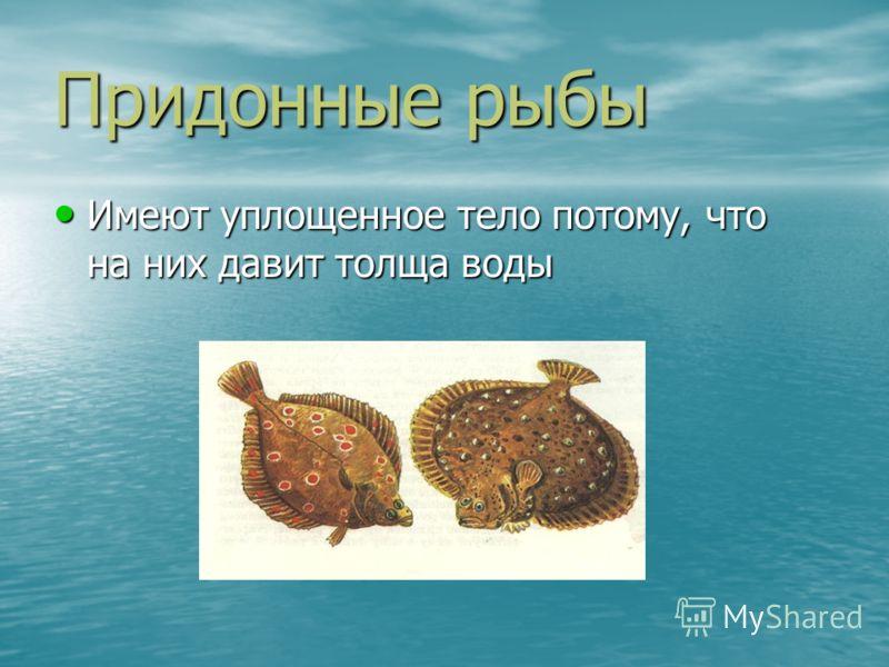 Придонные рыбы Имеют уплощенное тело потому, что на них давит толща воды Имеют уплощенное тело потому, что на них давит толща воды