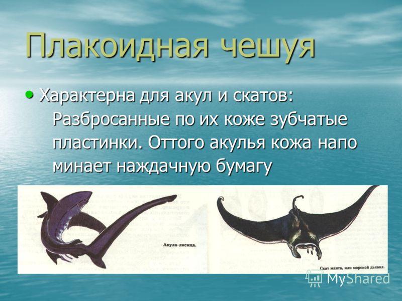 Плакоидная чешуя Характерна для акул и скатов: Характерна для акул и скатов: Разбросанные по их коже зубчатые Разбросанные по их коже зубчатые пластинки. Оттого акулья кожа напо пластинки. Оттого акулья кожа напо минает наждачную бумагу минает наждач