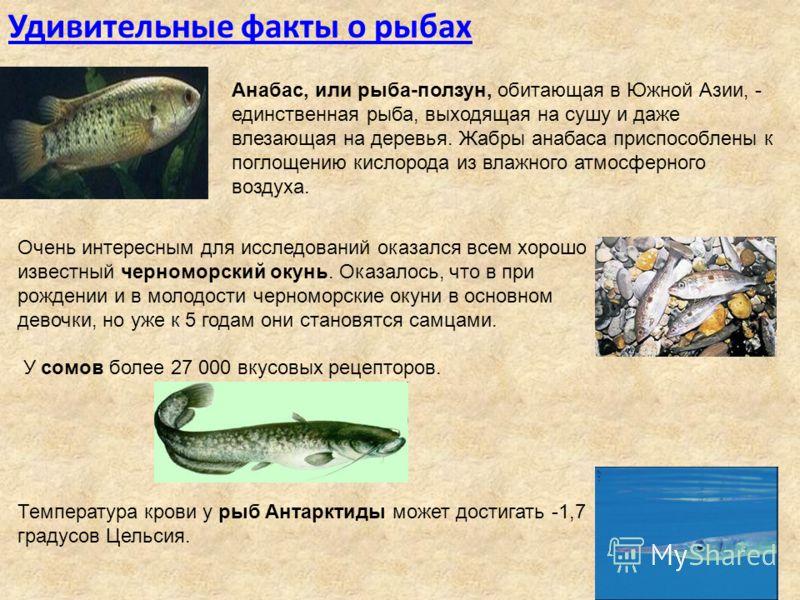 Удивительные факты о рыбах Анабас, или рыба-ползун, обитающая в Южной Азии, - единственная рыба, выходящая на сушу и даже влезающая на деревья. Жабры анабаса приспособлены к поглощению кислорода из влажного атмосферного воздуха. Очень интересным для