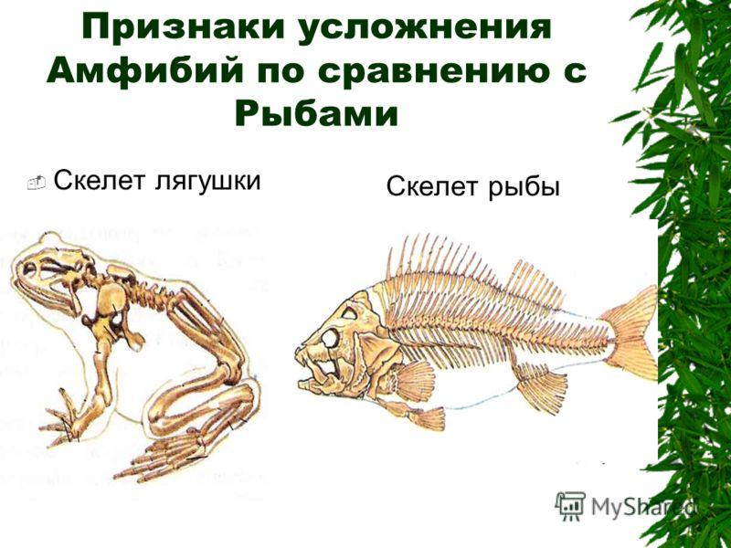 Признаки усложнения Амфибий по сравнению с Рыбами Скелет лягушки Скелет рыбы