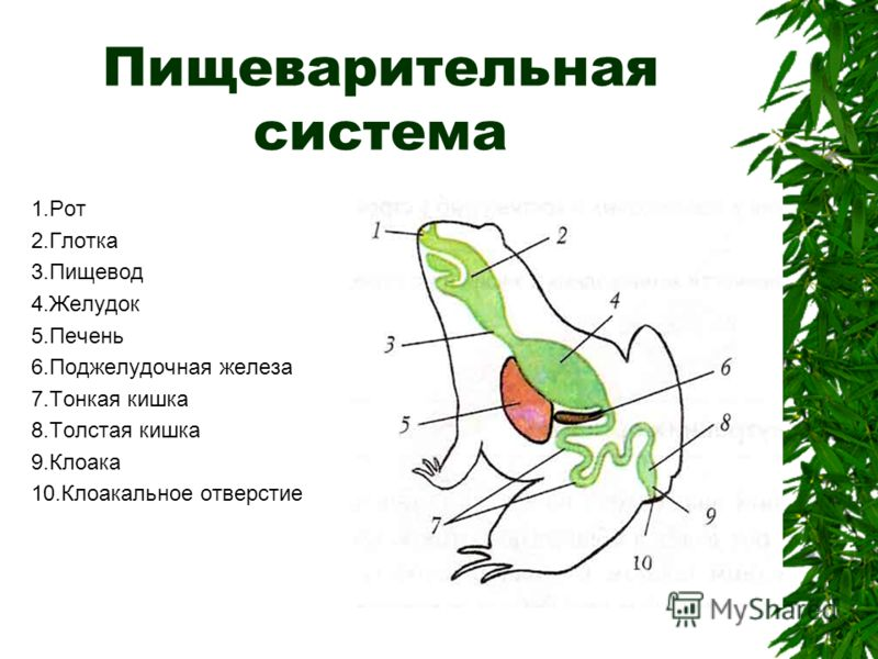 Пищеварительная система 1.Рот 2.Глотка 3.Пищевод 4.Желудок 5.Печень 6.Поджелудочная железа 7.Тонкая кишка 8.Толстая кишка 9.Клоака 10.Клоакальное отверстие