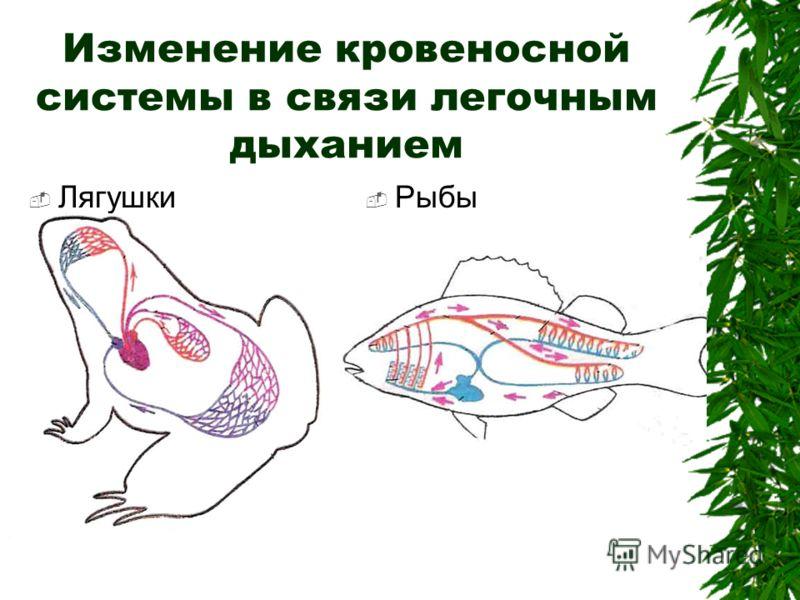 Изменение кровеносной системы в связи легочным дыханием Лягушки Рыбы