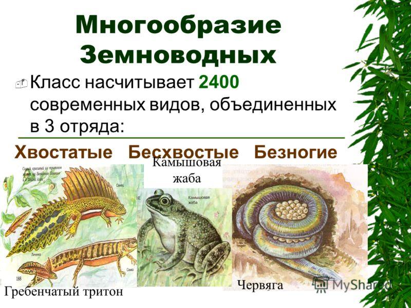 Многообразие Земноводных Класс насчитывает 2400 современных видов, объединенных в 3 отряда: Хвостатые Бесхвостые Безногие Червяга Гребенчатый тритон Камышовая жаба
