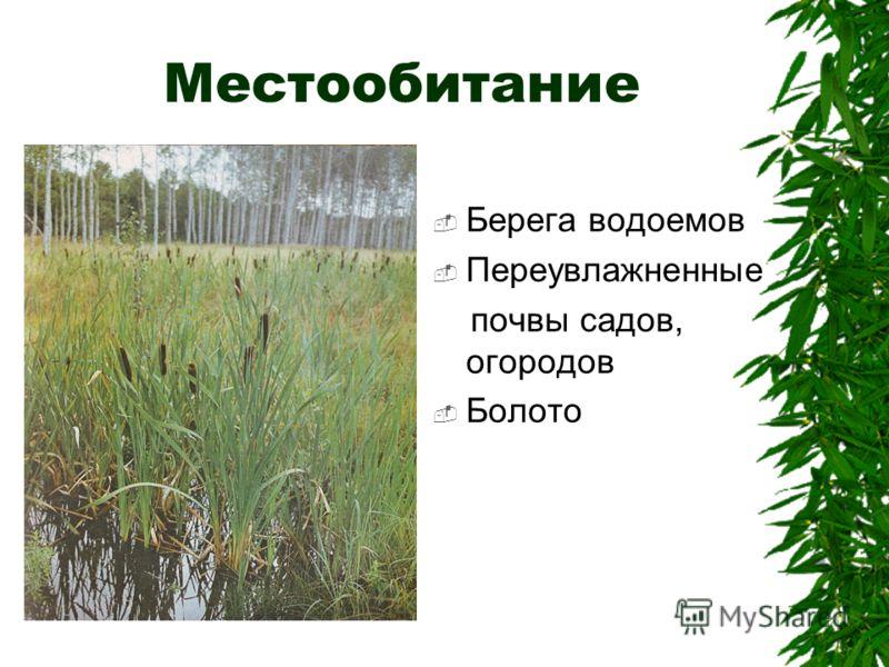 Местообитание Берега водоемов Переувлажненные почвы садов, огородов Болото