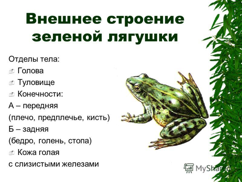 Внешнее строение зеленой лягушки Отделы тела: Голова Туловище Конечности: А – передняя (плечо, предплечье, кисть) Б – задняя (бедро, голень, стопа) Кожа голая с слизистыми железами