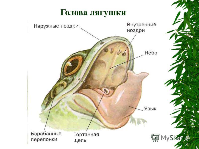 Голова лягушки