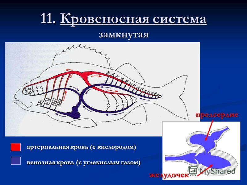11. Кровеносная система замкнутая предсердие желудочек артериальная кровь (с кислородом) венозная кровь (с углекислым газом)