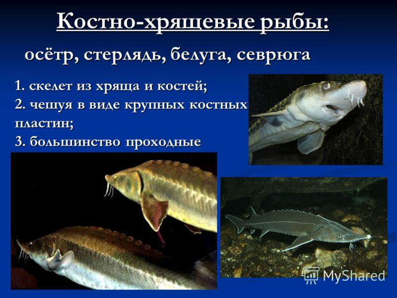 Костно-хрящевые рыбы: осётр, стерлядь, белуга, севрюга 1.скелет из хряща и костей; 1. скелет из хряща и костей; 2. чешуя в виде крупных костных пластин; 3. большинство проходные