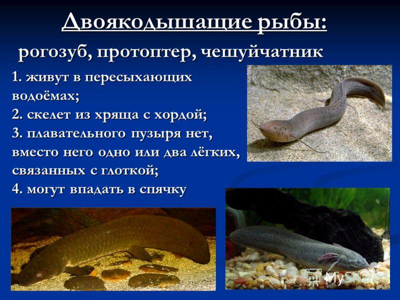 Двоякодышащие рыбы: рогозуб, протоптер, чешуйчатник 1.живут в пересыхающих водоёмах; 1. живут в пересыхающих водоёмах; 2. скелет из хряща с хордой; 3. плавательного пузыря нет, вместо него одно или два лёгких, связанных с глоткой; 4. могут впадать в