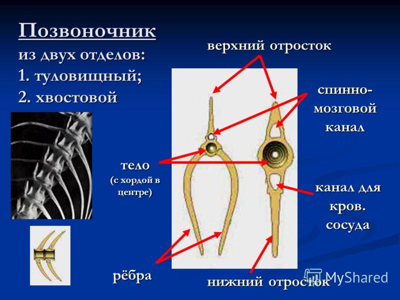 Позвоночник из двух отделов: 1. туловищный; 2. хвостовой рёбра нижний отросток верхний отросток тело (с хордой в центре) спинно- мозговой канал канал для кров. сосуда