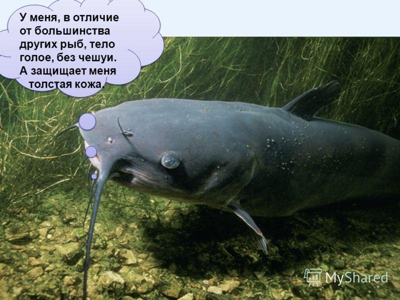 У меня, в отличие от большинства других рыб, тело голое, без чешуи. А защищает меня толстая кожа. У меня, в отличие от большинства других рыб, тело голое, без чешуи. А защищает меня толстая кожа.