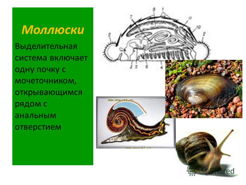 Моллюски Выделительная система включает одну почку с мочеточником, открывающимся рядом с анальным отверстием