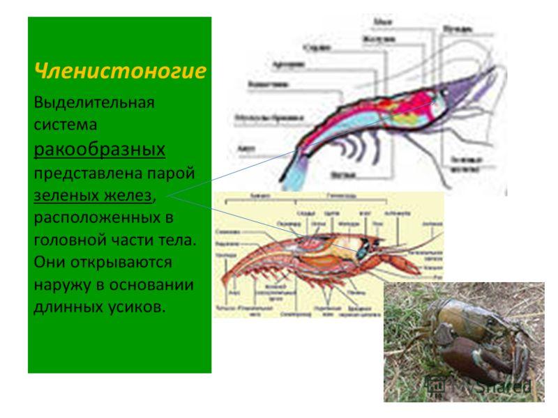 Членистоногие Выделительная система ракообразных представлена парой зеленых желез, расположенных в головной части тела. Они открываются наружу в основании длинных усиков.