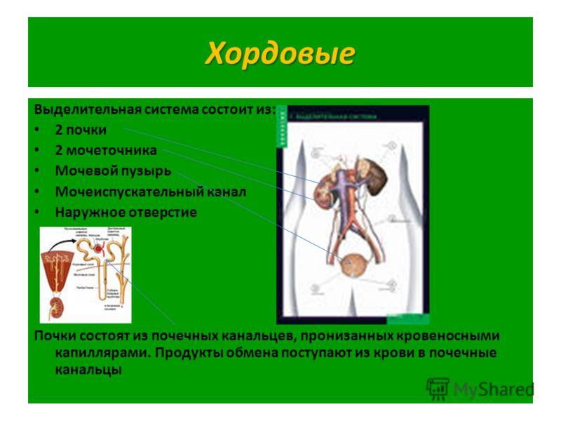 Хордовые Выделительная система состоит из: 2 почки 2 мочеточника Мочевой пузырь Мочеиспускательный канал Наружное отверстие Почки состоят из почечных канальцев, пронизанных кровеносными капиллярами. Продукты обмена поступают из крови в почечные канал