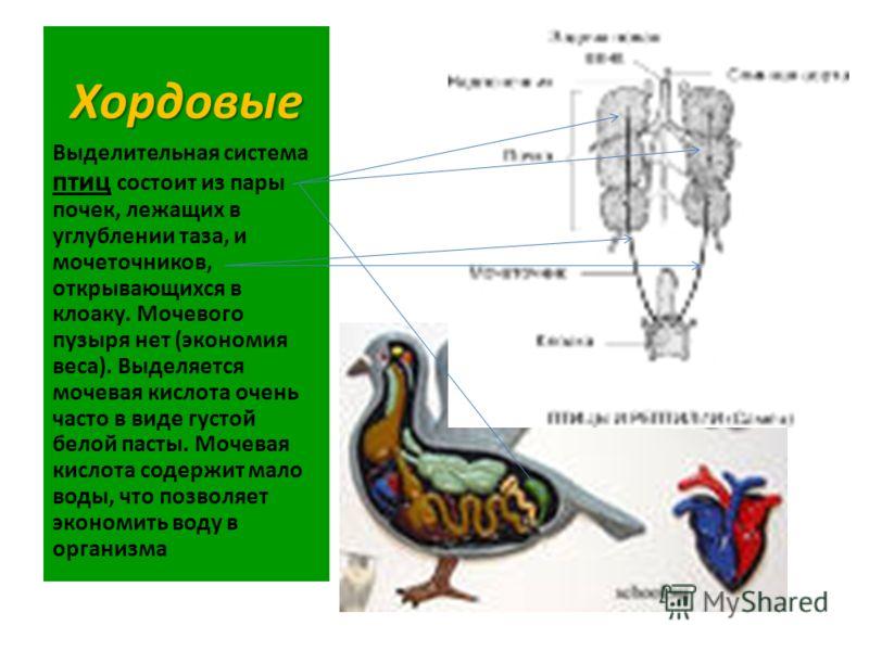 Хордовые Выделительная система птиц состоит из пары почек, лежащих в углублении таза, и мочеточников, открывающихся в клоаку. Мочевого пузыря нет (экономия веса). Выделяется мочевая кислота очень часто в виде густой белой пасты. Мочевая кислота содер